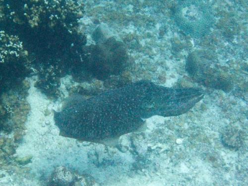 img_0961-cuttlefish