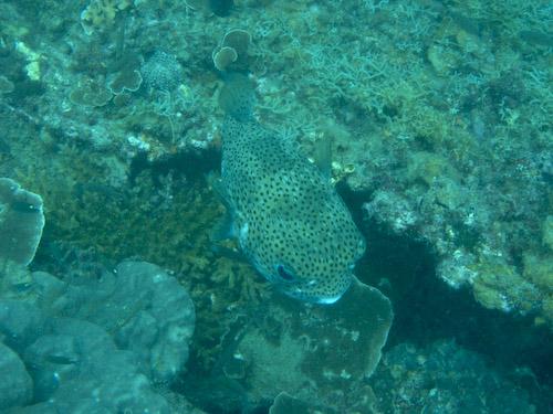 img_1256-porcupine-fish