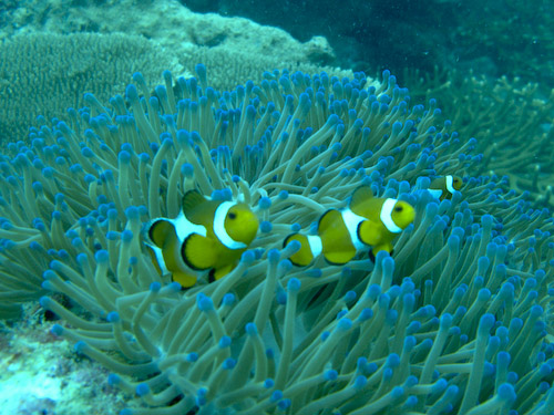 img_1262-clown-fish