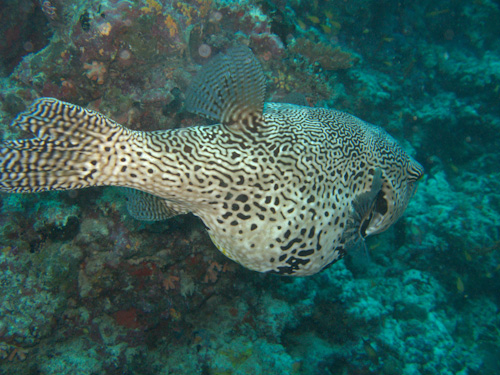 IMG_1435 - Pufferfish