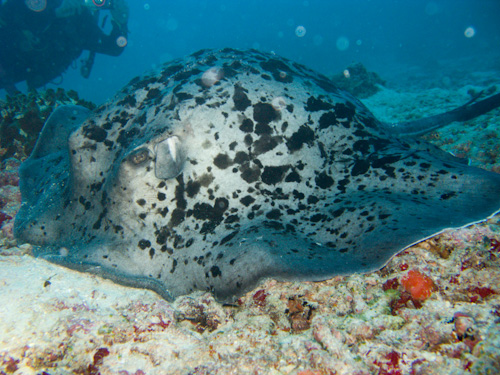 IMG_1772 - Marbled Ray