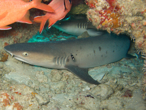IMG_1817 - Whitetip Shark