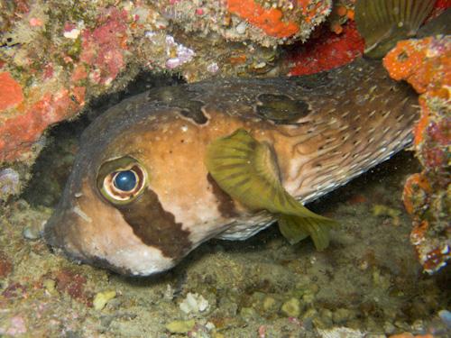 IMG_1868 - Porcupine Fish