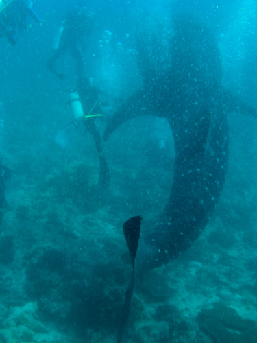 IMG_1923 - Whale Shark